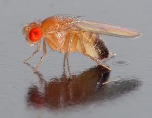 Drosophila contemplates his genetic heritage.