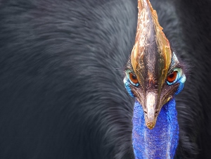 A Southern Cassowary, close relative of the emu and the kiwi.