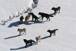 Wolf pack photo